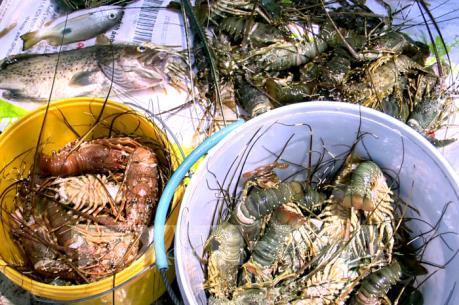 Phó Thủ tướng chỉ đạo khắc phục tình hình tôm hùm nuôi chết tại Phú Yên