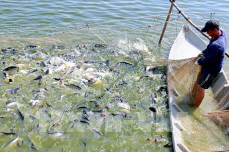 Sản xuất cá tra theo hướng hợp tác và liên kết theo chuỗi giá trị