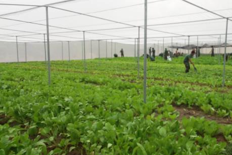 Nhiều hộ trồng rau sạch ở Đồng Nai bị nợ tiền cả trăm triệu đồng