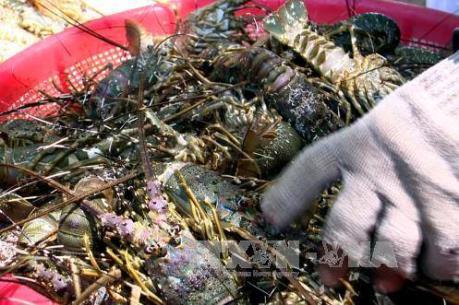 Nguyên nhân tôm hùm chết hàng loạt tại Phú Yên