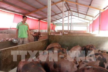 Tiền Giang: Giá lợn bấp bênh, người nuôi lo lắng