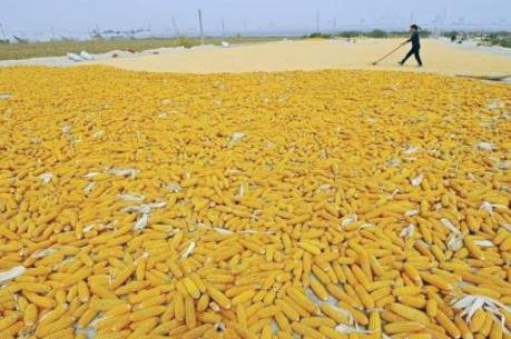 Giá ngô và lúa mỳ Mỹ giảm khá mạnh tuần qua
