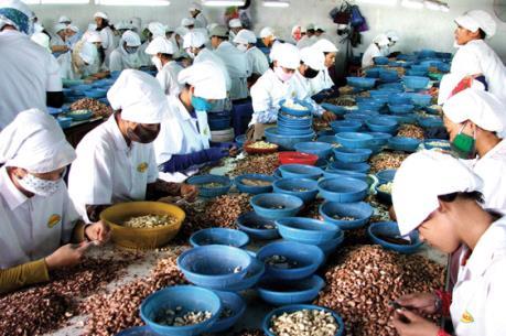 Chế biến xuất khẩu điều: Giải pháp nào để đảm bảo nguyên liệu đầu vào?