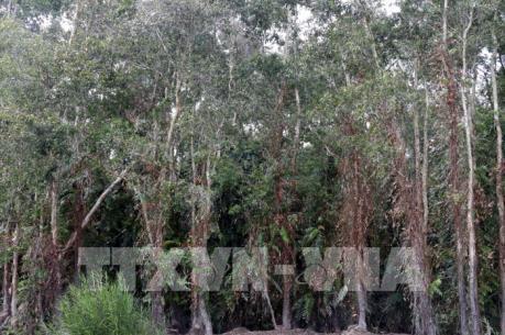 Sâu lạ tấn công rừng tràm ở Sóc Trăng