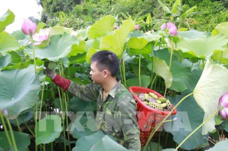 Trồng sen kết hợp nuôi cá ở xã miền núi Quang Sơn