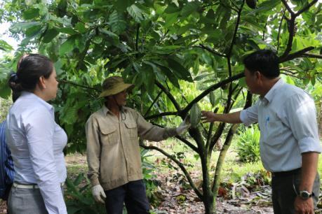 Ca cao không đậu trái do mưa kéo dài