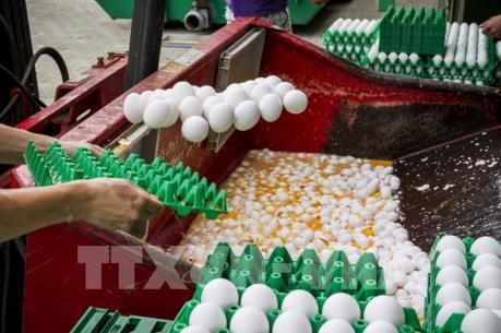 """Hàng triệu con gà sẽ bị tiêu hủy sau vụ bê bối trứng """"bẩn"""" tại Hà Lan"""