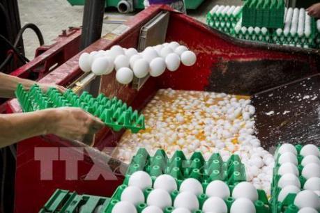 Italy thu giữ sản phẩm của công ty Pháp liên quan vụ trứng gà nhiễm Fipronil