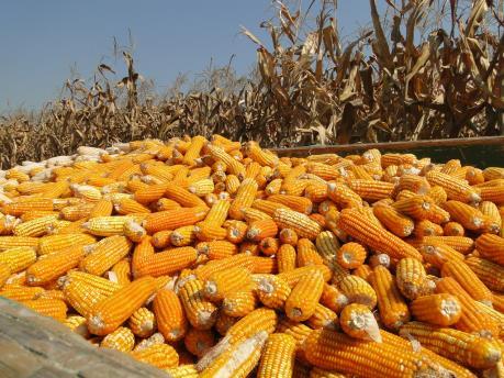 """Đàm phán NAFTA: Nông dân Mexico lo bị xoá """"sổ"""" ngành sản xuất ngô"""