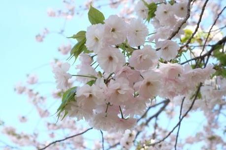 Sẽ không có hoa giả trong Lễ hội hoa anh đào tại Hà Nội