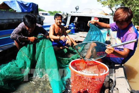 An Giang cấm khai thác cá linh non để bảo vệ nguồn lợi thủy sản
