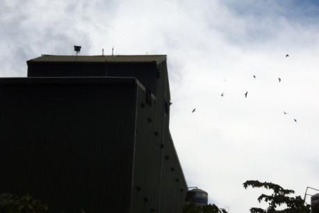 Kiên Giang phát triển nuôi chim yến