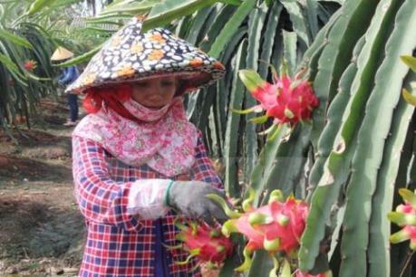 Tìm hướng đi bền vững cho cây thanh long - Bài 1:  Mở rộng thị trường, đa dạng sản phẩm