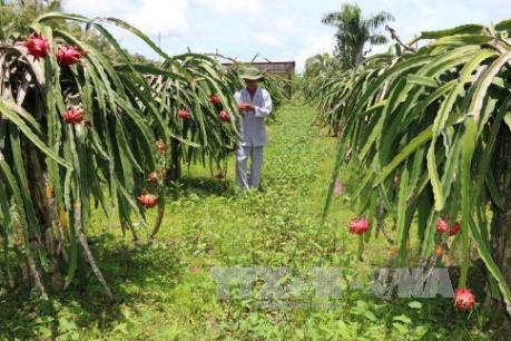 Nhiều diện tích thanh long ở Bình Thuận bị ốc sên gây hại
