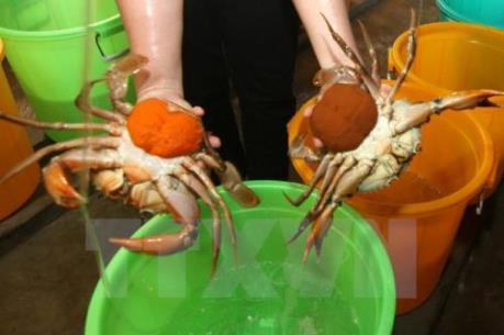 Giá cua biển Trà Vinh giảm 30.000 – 50.000 đồng/kg