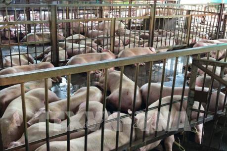 Tp.Hồ Chí Minh có thêm 70 con lợn bị tiêm thuốc an thần
