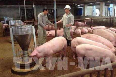 Chuẩn bị cho xuất khẩu thịt lợn