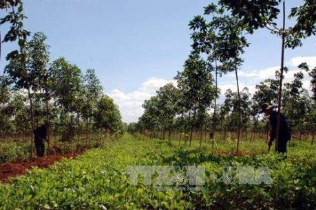 Trồng nghệ xen canh trong vườn cao su non cho thu nhập cao
