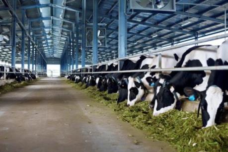 Đưa trang trại bò sữa áp dụng qui trình, công nghệ hiện đại vào hoạt động
