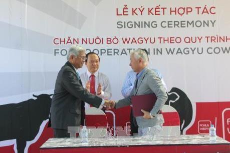 Doanh nghiệp Việt Nam và Nhật Bản hợp tác chăn nuôi bò Waguy
