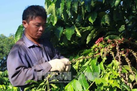 """Cà phê nhân """"rớt giá"""", công thu hoạch tăng cao người sản xuất điêu đứng"""