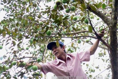 Xuất khẩu lô quả vú sữa Việt Nam đầu tiên sang Hoa Kỳ