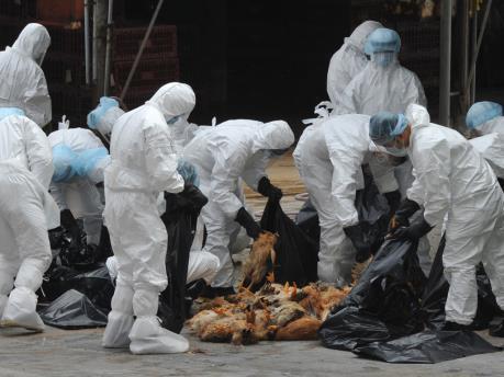 Dịch cúm gia cầm ở Hàn Quốc diễn biến phức tạp