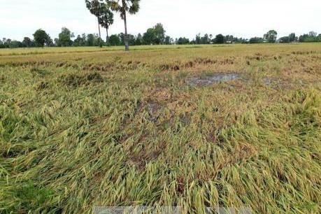 Thiên tai bất lợi làm sập ngã hơn 6.000 ha lúa tại Bạc Liêu
