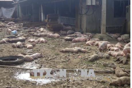 Đắk Nông: 1.200 con lợn của một trang trại bị chết cháy