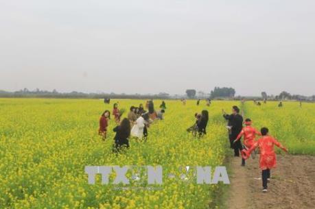 Thanh Hóa: Cánh đồng hoa cải thu hút khách gần xa