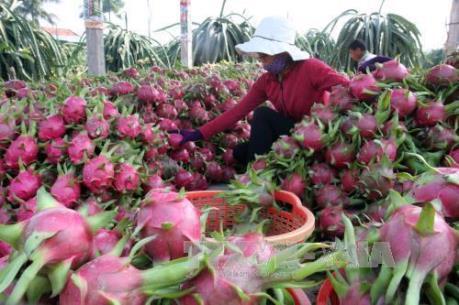 Giá thanh long ruột đỏ xuất khẩu tăng mạnh ngày cận Tết
