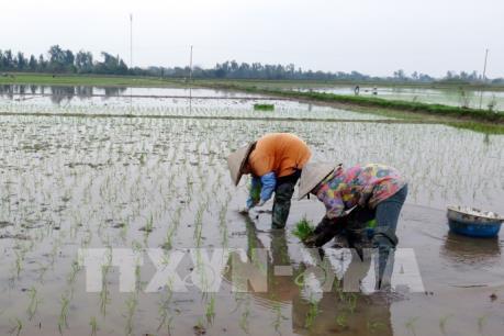 59% diện tích lúa sử dụng giống do Việt Nam chọn tạo
