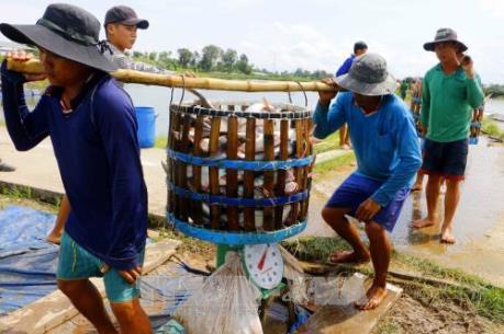 """Giá cá tra tăng kỷ lục, doanh nghiệp """"khát"""" nguyên liệu chế biến"""