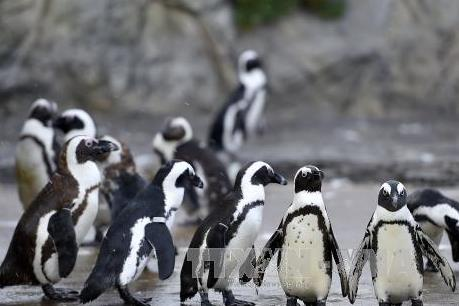 Loài chim cánh cụt chúa có nguy cơ bị xóa sổ