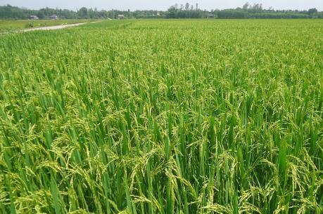 Hải Phòng triển khai dự án sản xuất lúa thương phẩm sạch organic