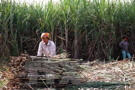 Trước thềm niên vụ mới, Mía đường Sơn La giảm mục tiêu lợi nhuận