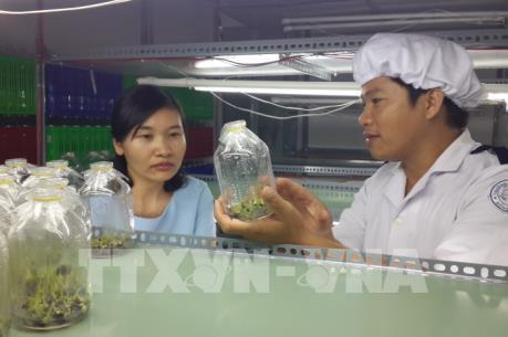 Thương lái tranh mua, giá chuối cấy mô ở Đồng Nai tăng cao kỷ lục