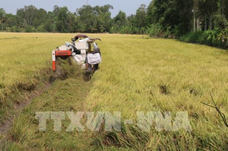 Giá lúa Đông Xuân đang ở mức cao