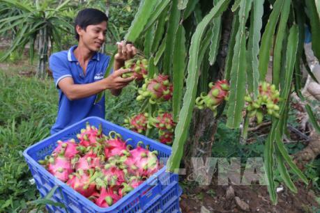 Nhà vườn xử lý thanh long cho trái mùa đạt lợi nhuận cao