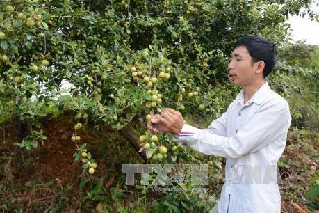 Trồng sơn tra đem lại thu nhập lớn cho đồng bào vùng cao Yên Bái