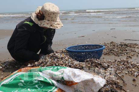 Ngư dân Thạch Hải trúng đậm sò huyết, sò lông