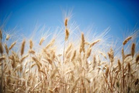 Thị trường nông sản Mỹ tuần qua: Giá lúa mỳ giảm hơn 2%