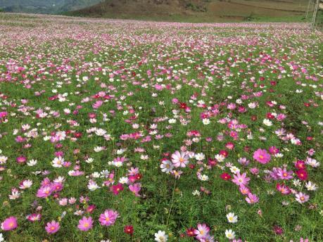 Lộng lẫy cánh đồng hoa bướm ở Khai Trung, Yên Bái