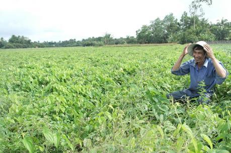Nông dân vùng Đồng Tháp Mười trúng mùa khoai mỡ