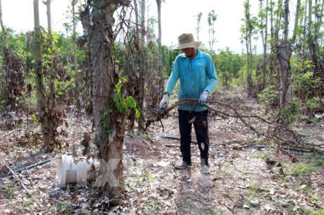 Bà Rịa-Vũng Tàu khuyến cáo nông dân cảnh giác việc thương lái thu mua rễ cây tiêu