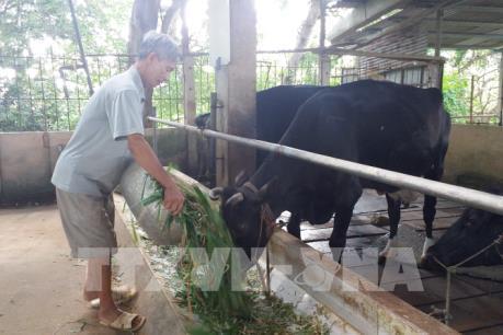 Nông dân nuôi bò sữa ở Bà Rịa-Vũng Tàu gặp khó về đầu ra