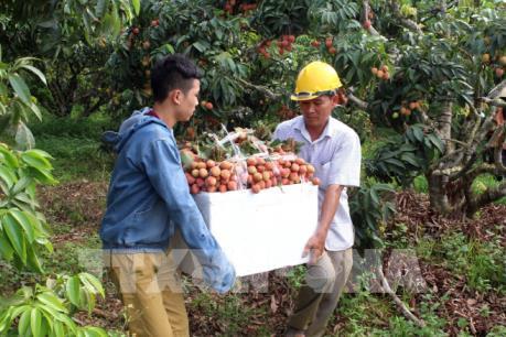 Tp. Hồ Chí Minh: Nguồn cung trái vải sớm dồi dào