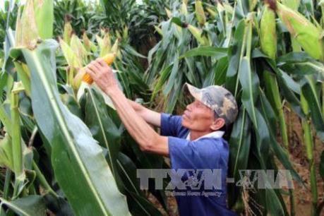 Nông dân Tiền Giang chuyển đổi sang trồng ngô thu lợi nhuận cao
