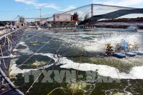 Hơn 12.000 ha diện tích tôm sú tại đồng bằng sông Cửu Long bị thiệt hại