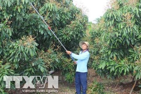 Sẽ tổ chức nhiều hoạt động xúc tiến tiêu thụ nhãn Hưng Yên, Sơn La
